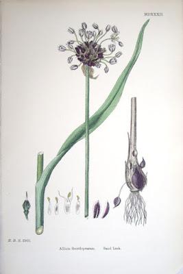 Skogslök, Allium scorodoprasum kallas även kajplök på gotland