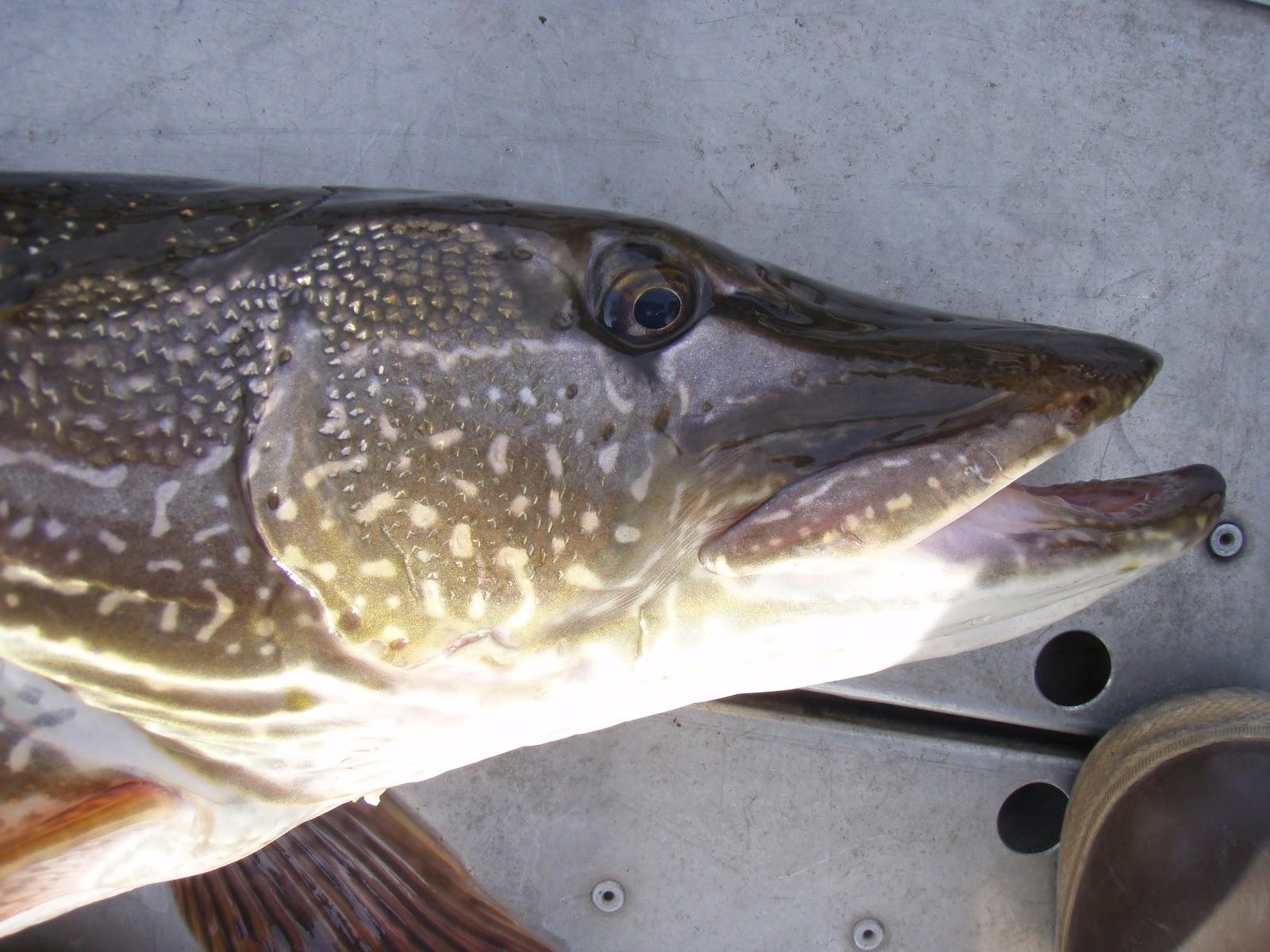 Forever fishing washington state northern pike anyone for Washington state fish