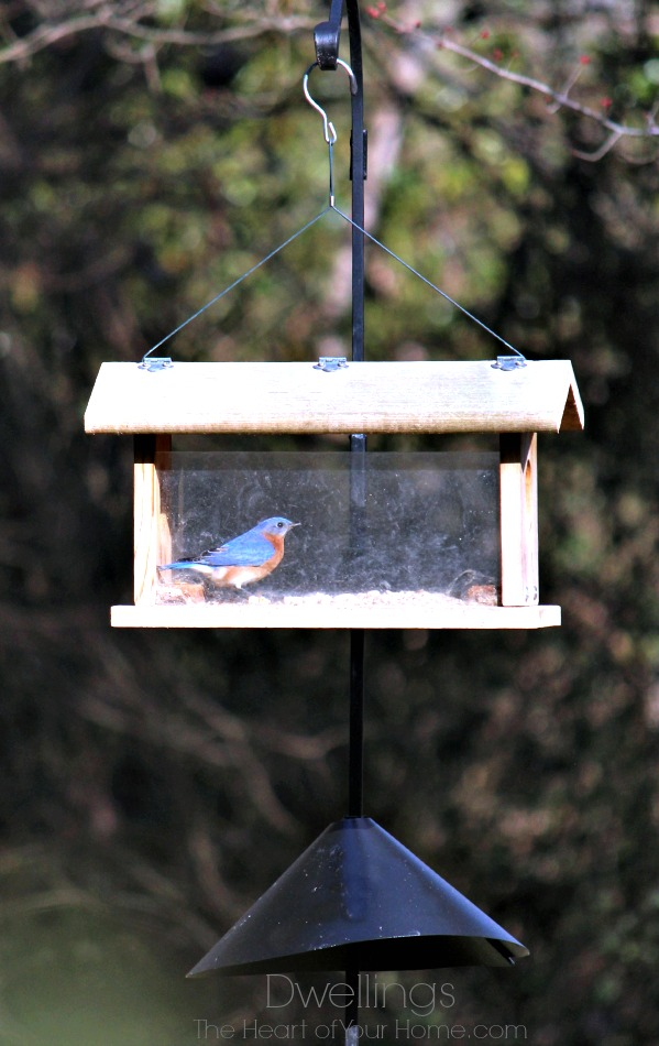 bluebird in feeder
