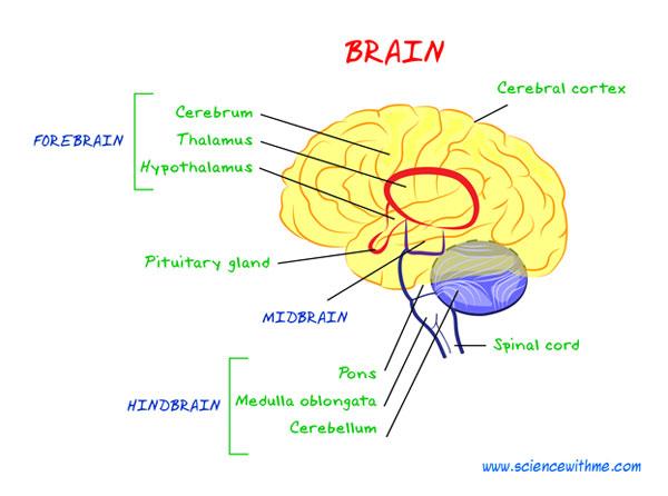 Central Nervous System Brain For Kids | www.imgkid.com ...