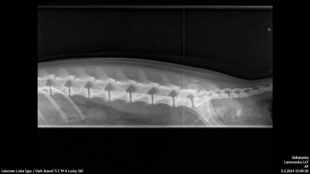 Spondyloosin eteneminen koira