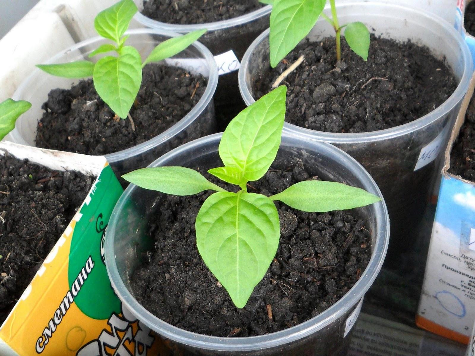 Посев перца на рассаду: когда лучше сажать перец
