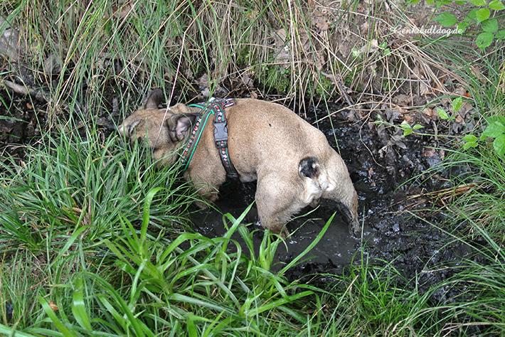 Hundeblog - Genkibulldog
