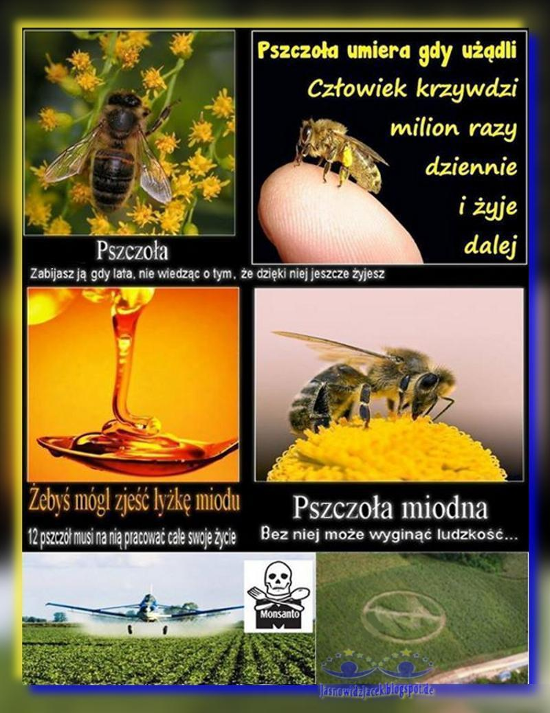 Pszczoła Miodna Zagrożenie wyginięcia - STOP CHEMII i MONSANTO