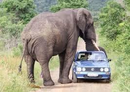 Gajah adalah Hewan Darat Terbesar