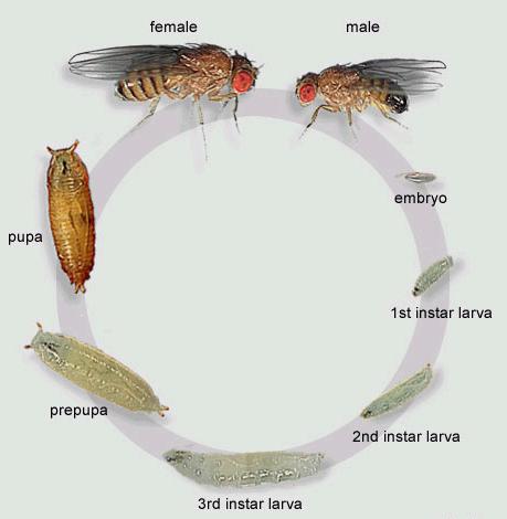 d melanogaster fruit fly report