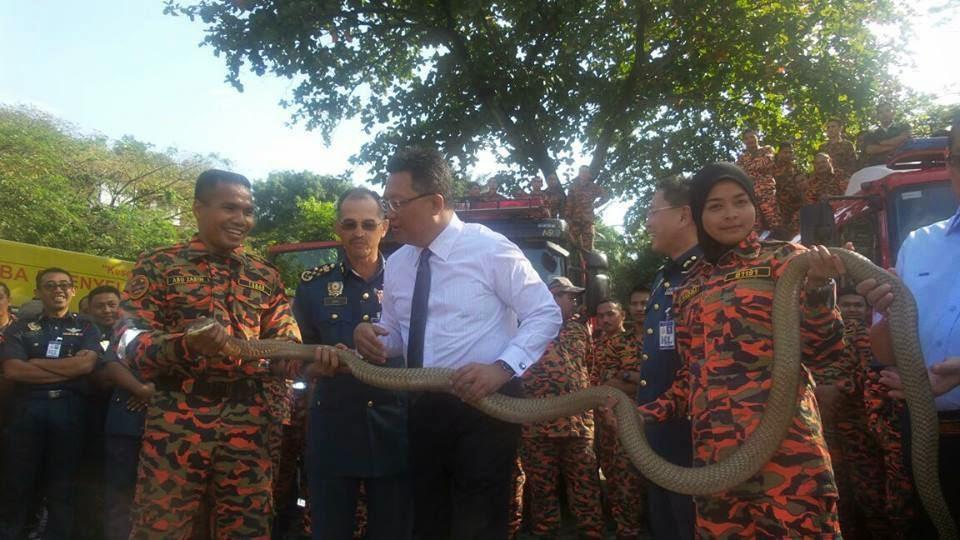 Gambar AKSI Pegawai Bomba Wanita bersama Ular King Cobra