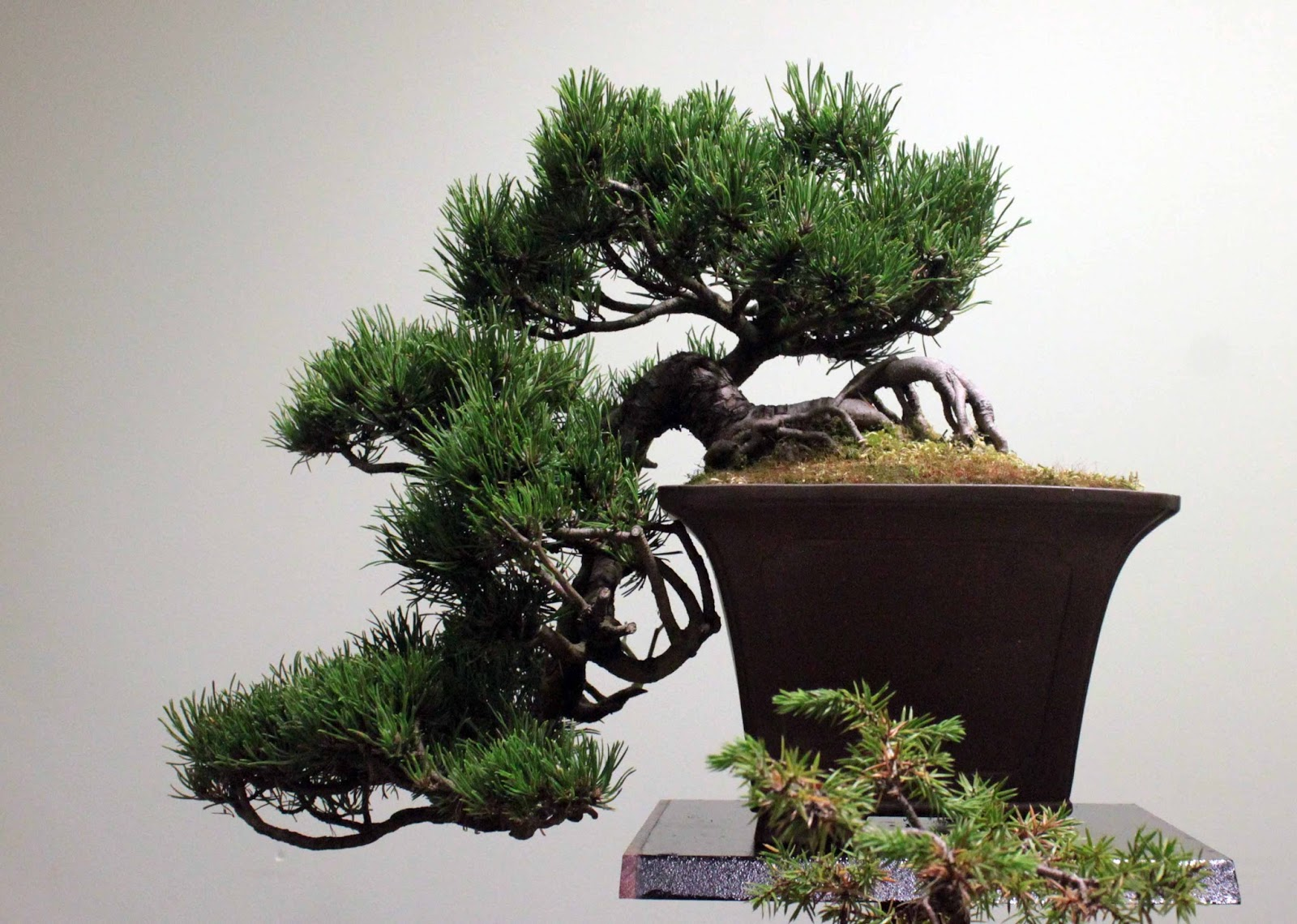 Yamadori Art UK Accrington Amp District Bonsai Society Show
