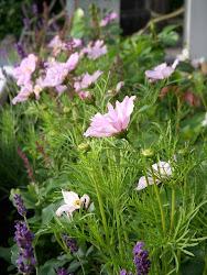 Rosenskära i Rosverkstans trädgård