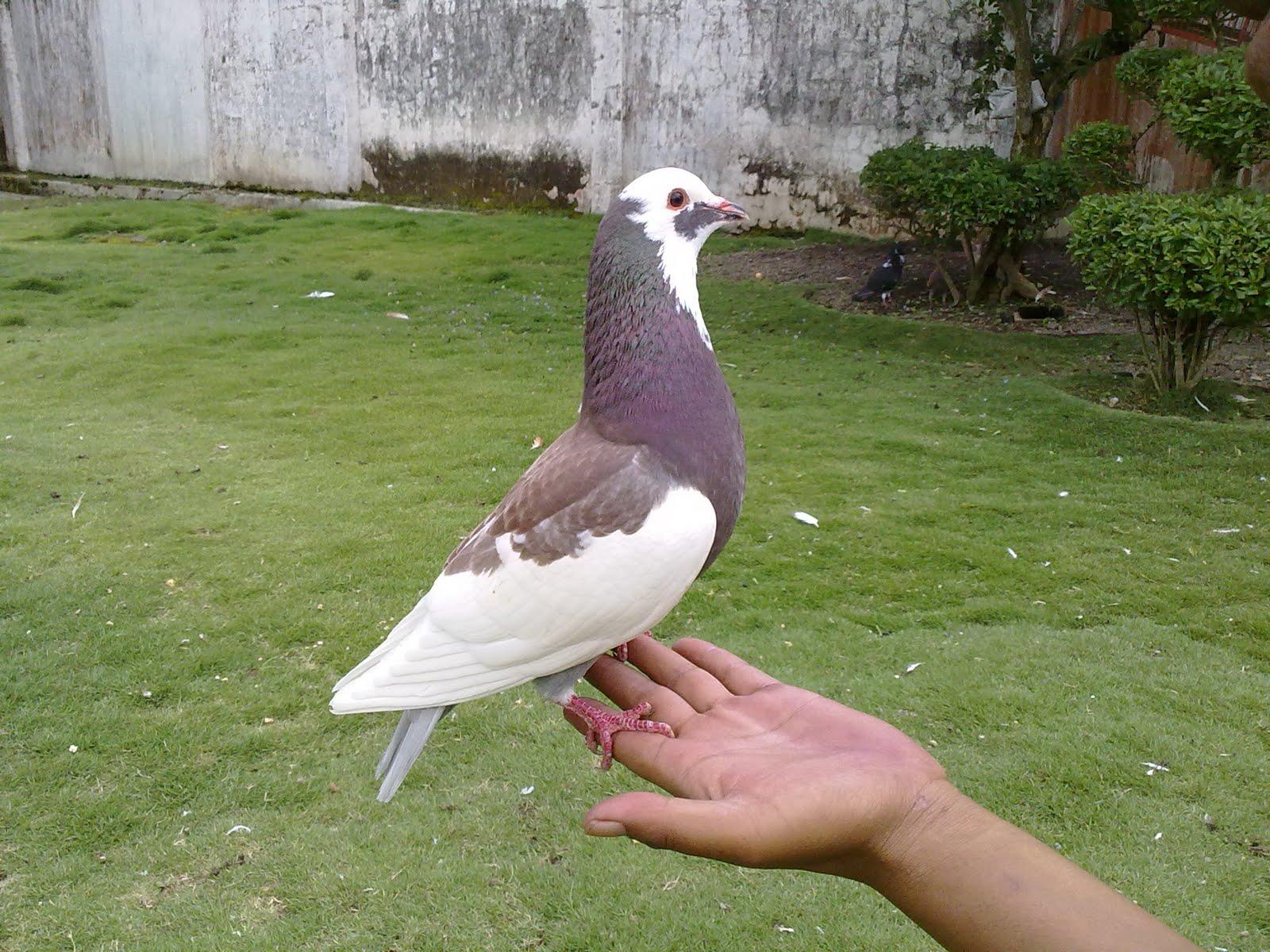 Burung Dara Hias