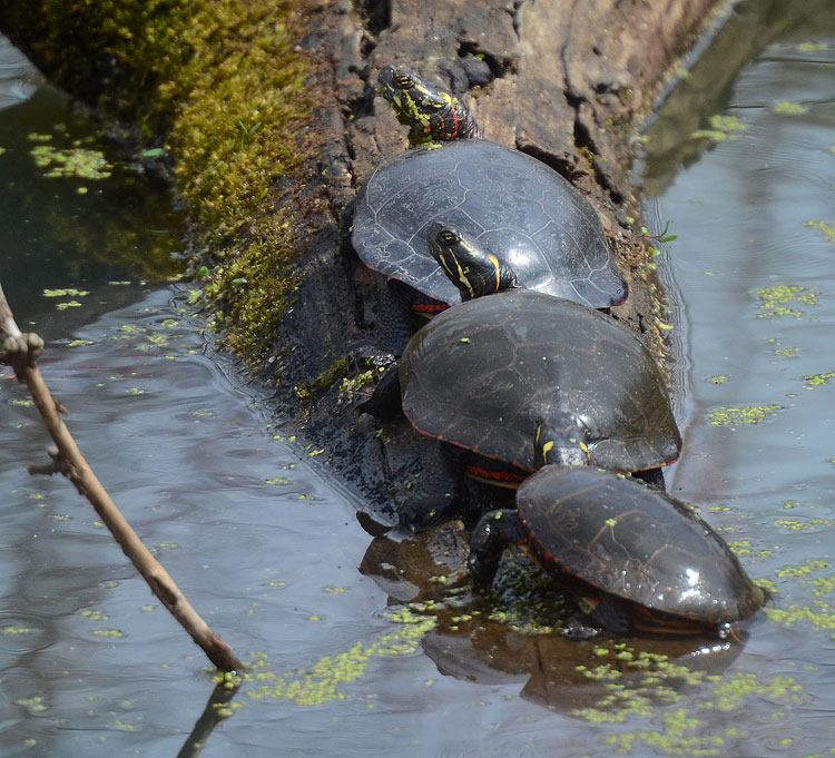 Painted Turtles (Chrysemys picta) basking in the sun at Spring Valley Nature Area.