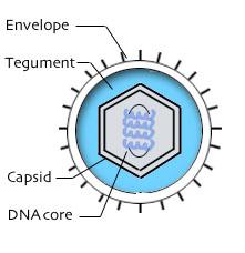Hình. Cấu trúc của Herpesvirus