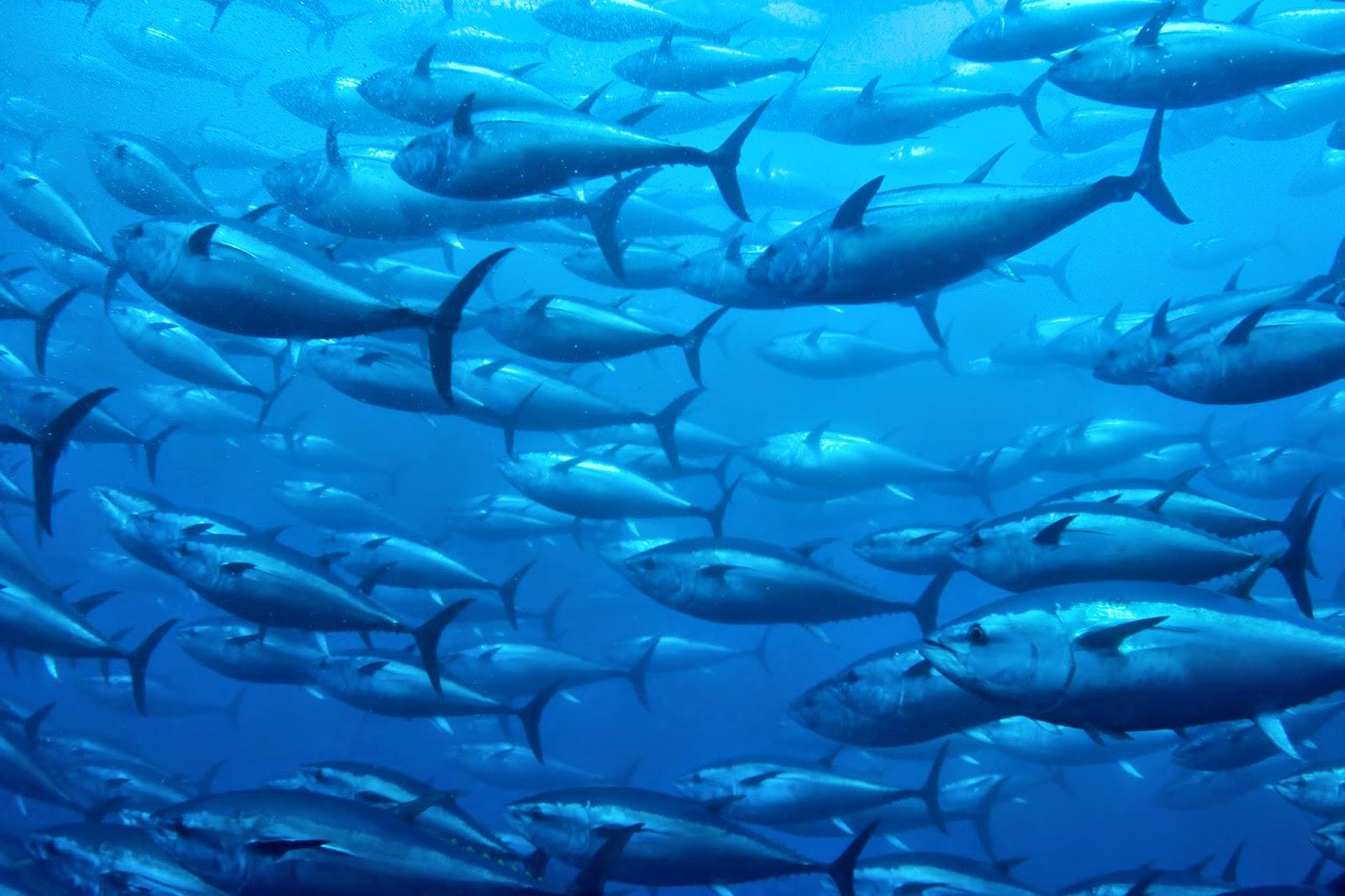 http://www.theguardian.com/world/2015/jan/05/sushi-boss-nets-bluefin-tuna-25k-tokyo-tsukiji-fish-market