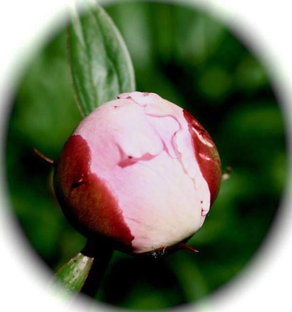 visst är knoppen på gång att bli en härligt kreativt skön blomma.