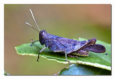 Two Groups of Crickets Lose Their Ability to Sing