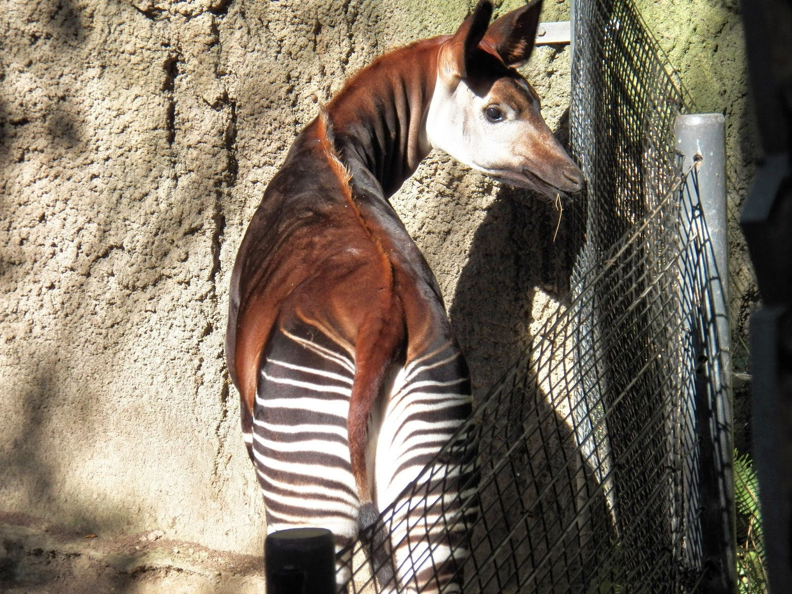 Fun And Amazing Okapis: fun facts about okapis