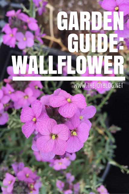 How to guide for growing wallflowers