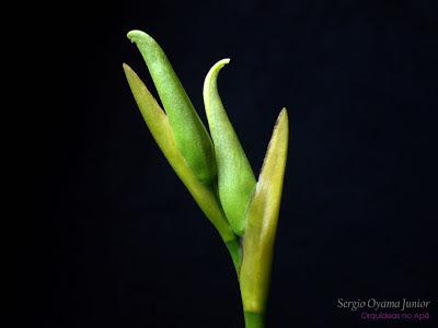 Orquídea noid