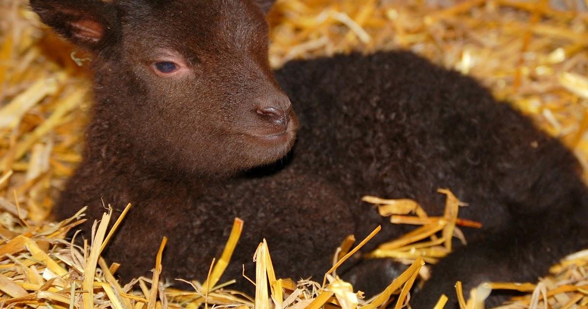 Crosswinds Farm shetland sheep | Shetland sheep, Sheep