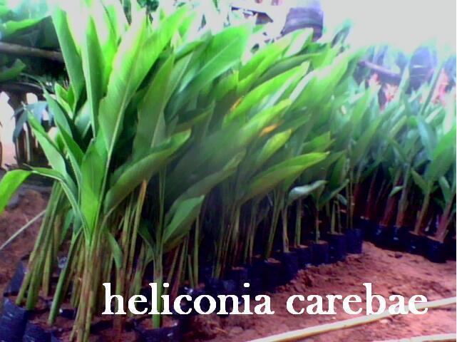 heliconia carebae