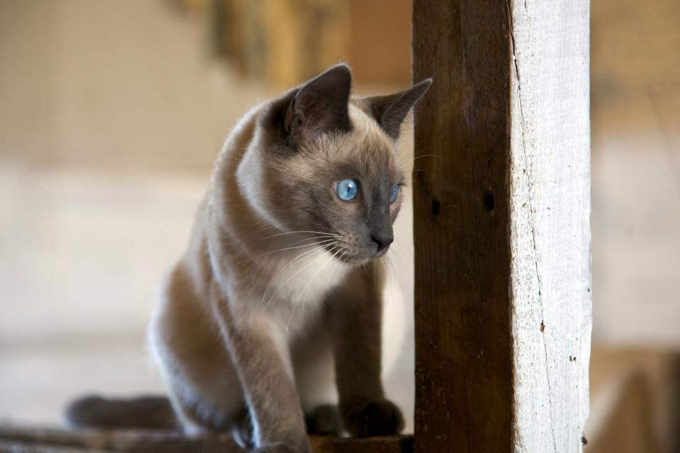 Complètement et trop extrême photo de chat siamois angora #ZE_87