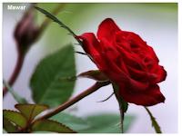 Mawar menggunakan duri untuk melindungi diri