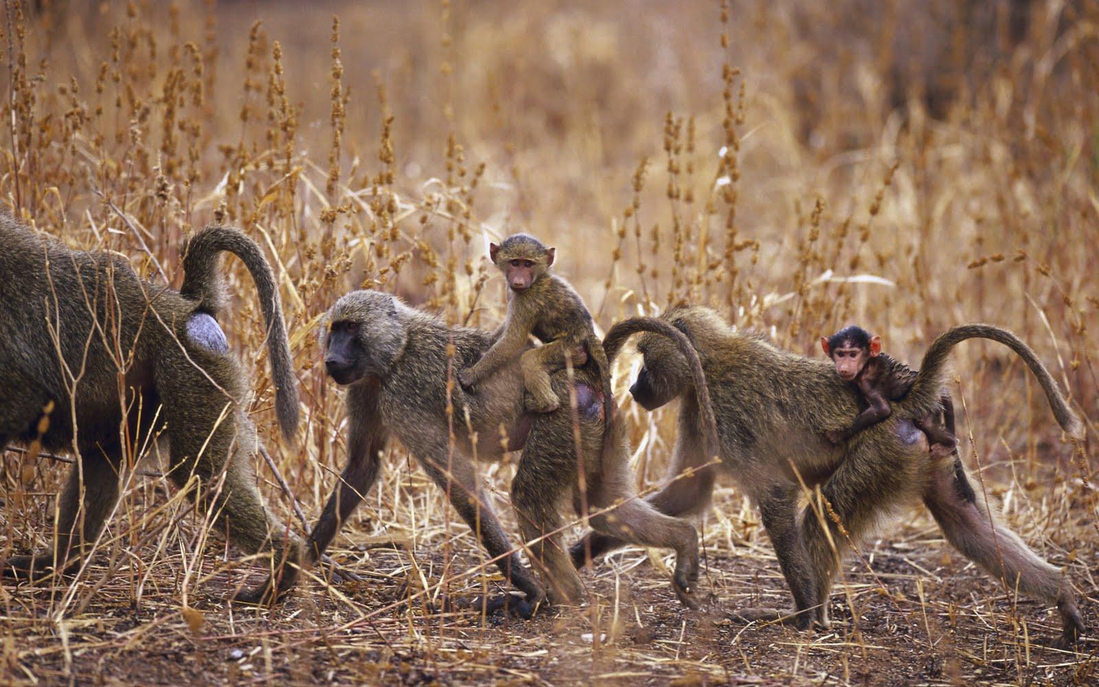 http://1.bp.blogspot.com/-MDj4H2uE2rc/ThFeCey9kfI/AAAAAAAABgQ/H2ZyVEqo4GY/s1600/Wallcate.com+-+Amazing+Wild+Africa+Wallpaper+%252830%2529.jpg