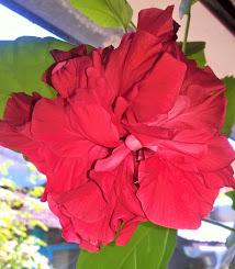Trandafir de început de august