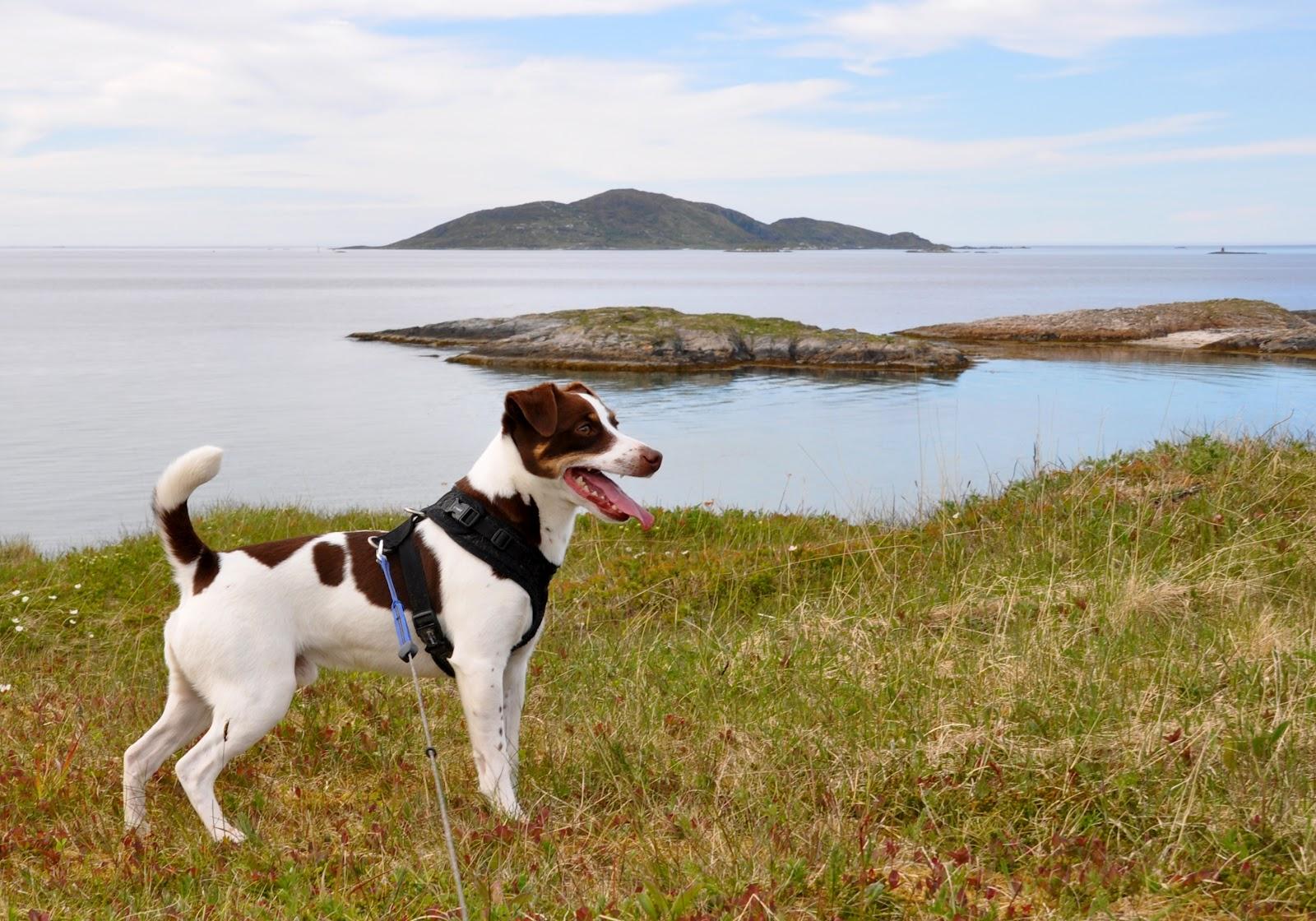 характер породы собаки датско шведская фермерская собака