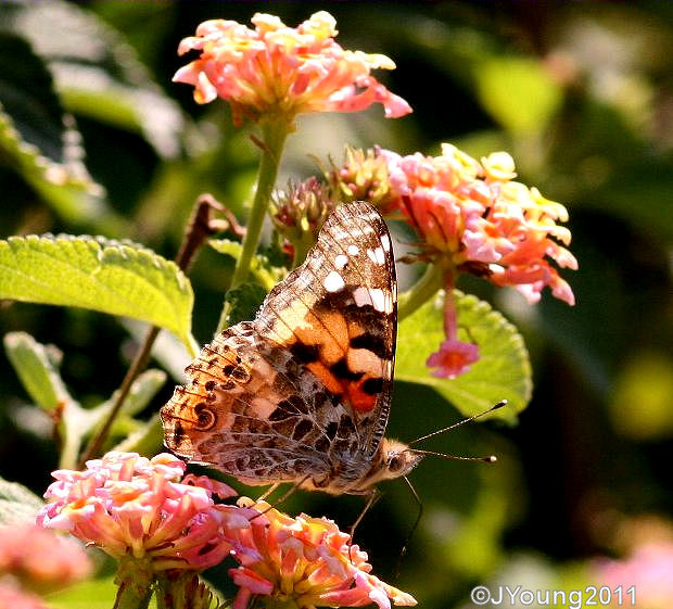 South African Photographs Painted Lady Butterfly Vanessa Cardui