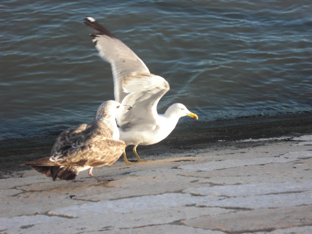 gaivota macho