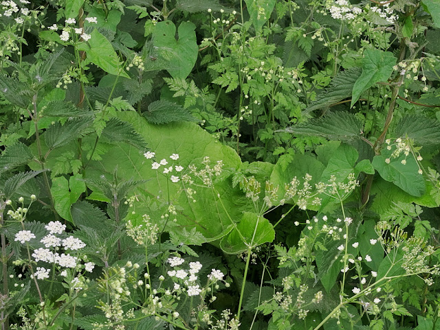 Burdoch leaves nettles and hedge parsley intermingled