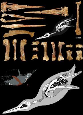 pinguino prehistorico de CHile Inkayacu