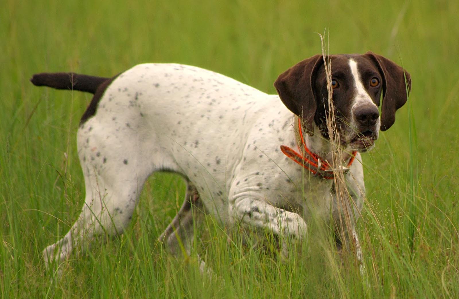 Hunting Dog Training Nj