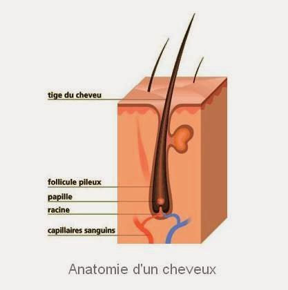 Anatomie d'un cheveu