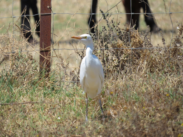 Cattle Egret - Spain