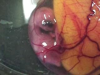 Embrio membesar