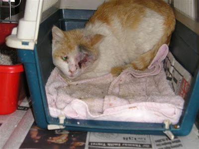 rescued, injured orange cat in cage