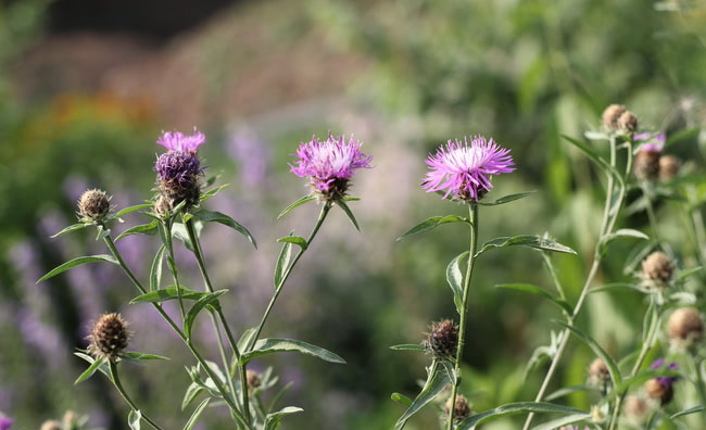 Brown Knapweed Flowers
