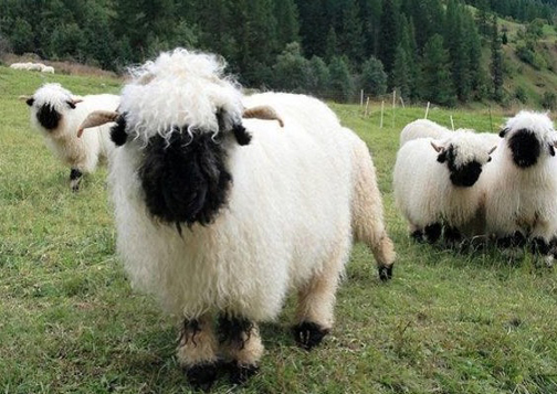 Go Back > Gallery For > Black Sheep Face