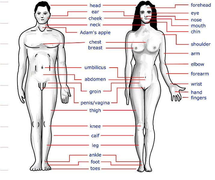 Anatomy Of Human Body Bones Body Diagram Of Organs Male