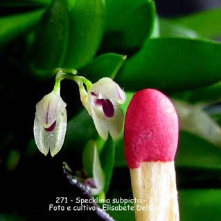 Specklinia subpicta variedade 2 do blogdabeteorquideas