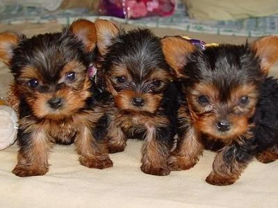big adorable teacup yorkie puppies for free adoption