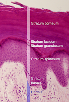 Skin structure showing Stratum lucidum layer