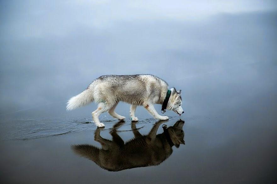 siberian husky playing frozen lake fox grom-5