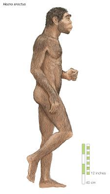 hombres prehistoricos Homo erectus