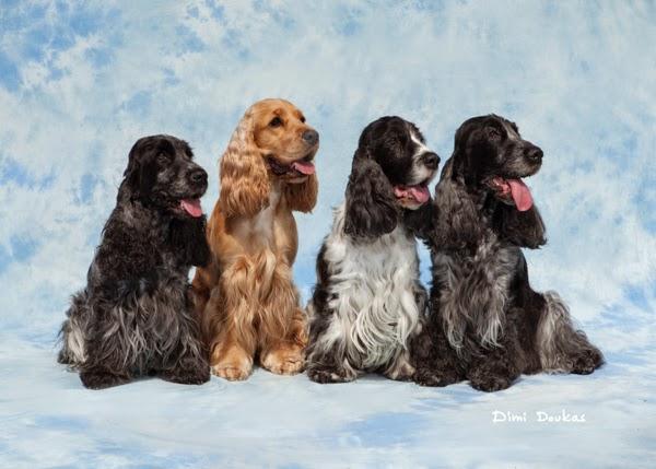 Dimi Doukas spanieli koirakuvaus kennelissä ryhmäkuva