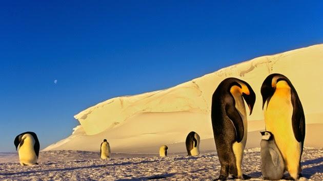 Hình ảnh đẹp chim cánh cụt đáng yêu