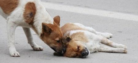 Sepasang Anjing Yang Dipisahkan Dengan Maut