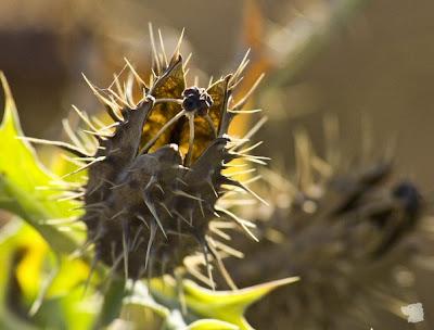 Arte y jardiner a chicalote planta medicinal for Que significa contemporaneo wikipedia